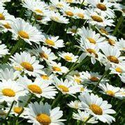 significato fiori margherita significato margherita significato fiori margherita