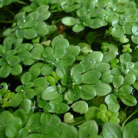 Pflanzen F R Teich 769 by Teichpflanzen Richtig Pflanzen Wasserpflanzen