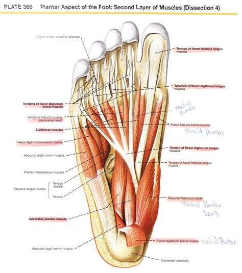 diagram of muscles and tendons foot anatomy tendons human anatomy diagram