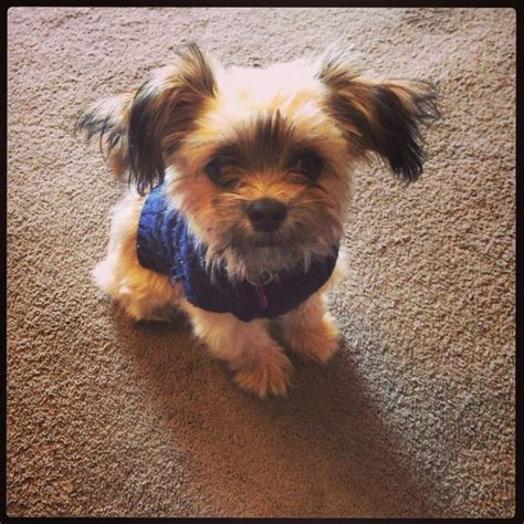 cute chorkie puppy haircuts 1000 images about chorkie on pinterest