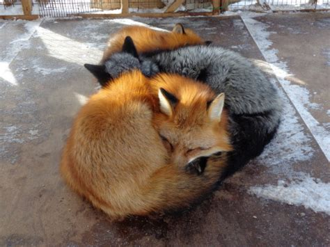 how cute pet foxes steal your heart silver fox on