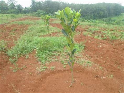 Grosir Tanaman Nangka Madu 1 cara menanam nangka tanamanbaru