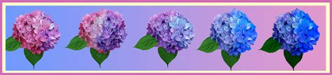 chagne pink color changing the color of hydrangeas plant addicts