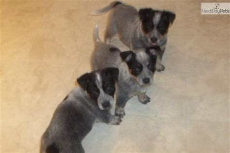 blue heeler puppies for sale in iowa australian cattle blue heeler puppy for sale near dubuque iowa dfb848cc 1521