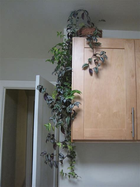 indoor vine best 25 climbing vines ideas on pinterest plants for