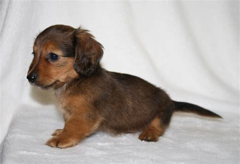 dachshund puppies nc miniature dachshunds quality akc dachshund for sale breeds picture