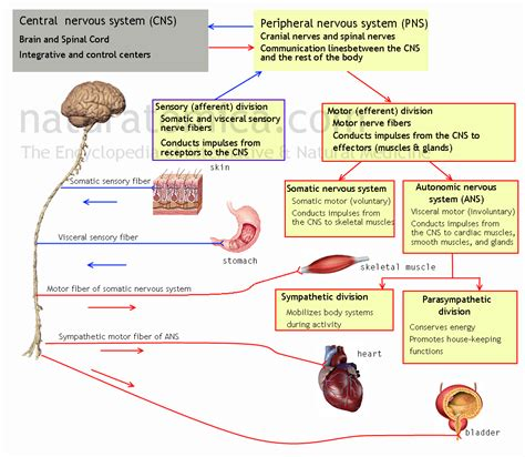 what are the divisions of the surgery section based on subdivisions functions of nervous system naturatomica