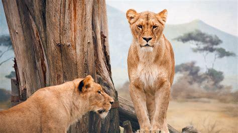 wallpaper african lioness nature wild animals animals
