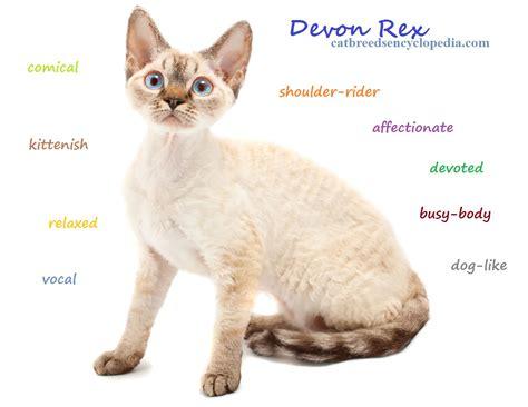 cat cat the rex cat cat breeds encyclopedia