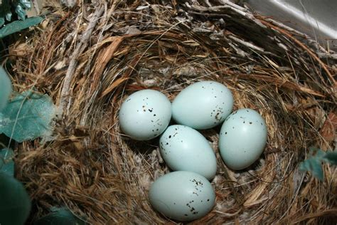 house finch eggs pictures purple finch eggs day 10 a photo on flickriver
