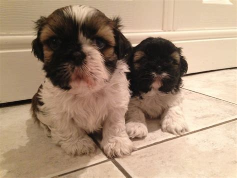 boy shih tzu for sale 2 shih tzu boys puppies for sale maidstone kent pets4homes
