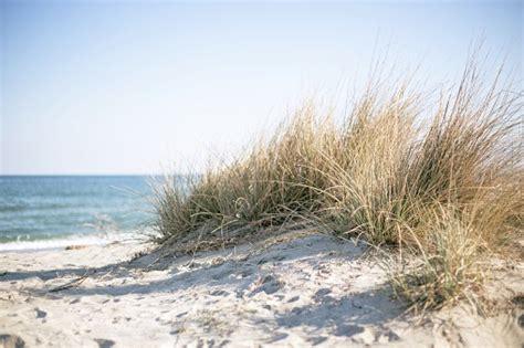 marram grass   sunny beach stock photo  image