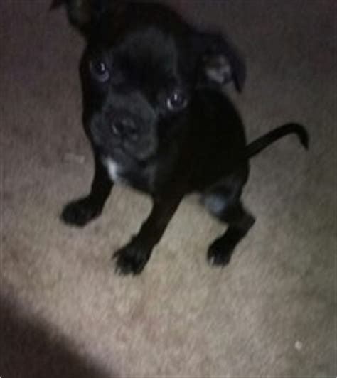 pugs for sale in nebraska view ad greyhound pug mix puppy for sale nebraska lincoln