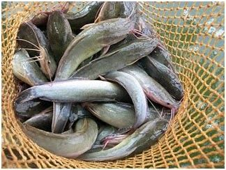 Bibit Lele Karawang ternak ikan lele bp3k pedes karawang