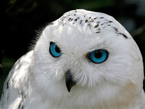 blue eyed snowy owl actually quot snow owl quot photo by fritz