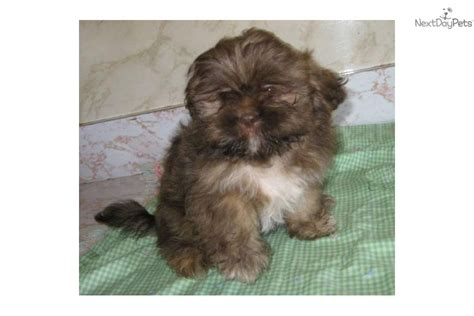 liver shih tzu for sale shih tzu puppies for sale indiana breeds picture