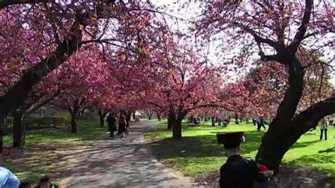 cherry blossom botanical garden cherry blossom time lapse at botanic garden on vimeo
