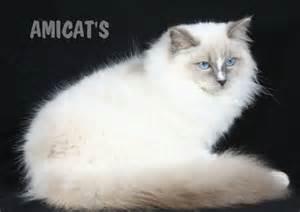 ragdoll que significa canil amichetti gatil amicats filhotes c 227 es gatos gigantes