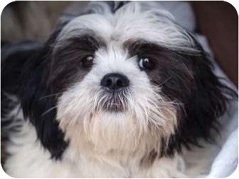 shih tzu toronto bandit adopted puppy bandit toronto etobicoke gta on shih tzu bichon frise mix