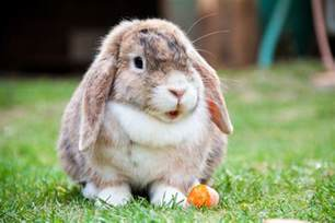 lop eared rabbit free stock photo public domain pictures
