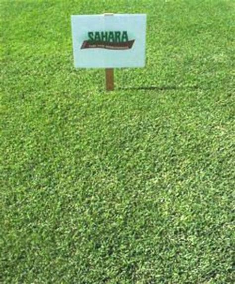 killing couch grass sahara bermuda grass seed for lawns sports turf pastures