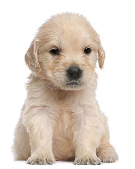 golden retriever puppies week by week golden retriever puppy 4 weeks sitting stock photography image 18673472