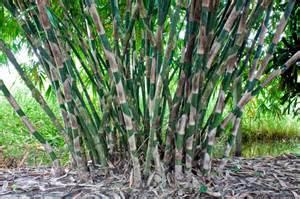 beautiful bamboo