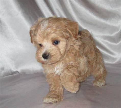 yorkie poo breeder ontario yorkie poo puppies hairstylegalleries