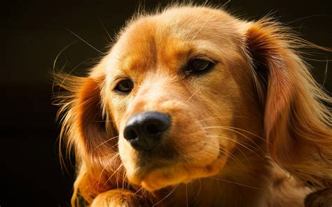 puppy wallpapers free pin lovely free resolution 1366x768 wallpaper on