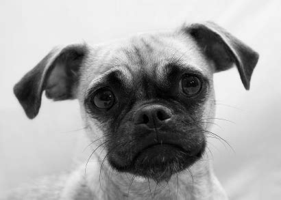 pug behavior problems hybrid dogs and the pug