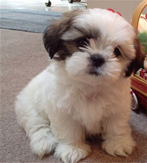 small shih tzu world shih tzu small breed dogs pictures
