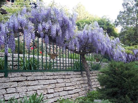 chinese wisteria wisteria sinensis wisteria chinese gardens plantfiles picture 38 of