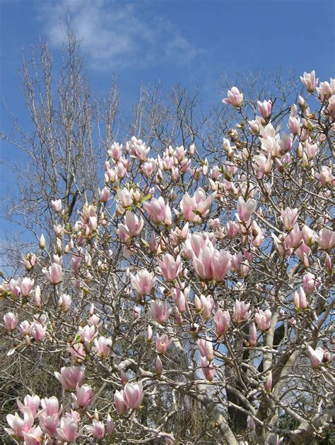 living backwards the japanese magnolia tree pat bean s blog