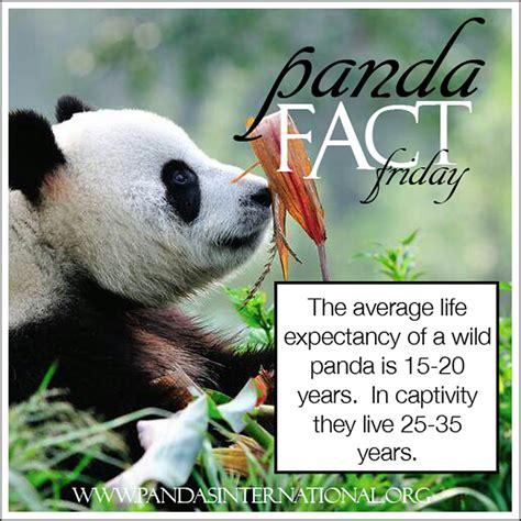 how many years does a live panda fact friday how do pandas live pandas international