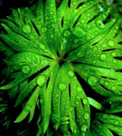 fensterbrett nass rittersporn blatt nass phlora de