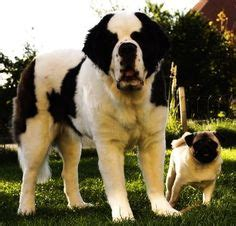 st bernard and pug 1000 images about st bernard on st bernards search and rescue dogs and