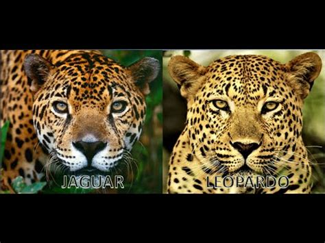 imagenes de jaguar y leopardo diferencias jaguar y leopardo d a youtube