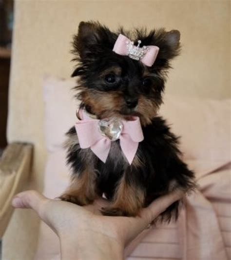 family yorkies micro pocket tiny teacup yorkie puppies for sale image 1 picture breeds picture
