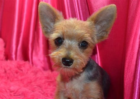 female yorkie haircuts female morkie haircuts little medium hair styles ideas