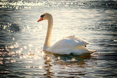 Swan L free photo swan water bird lake white free image on