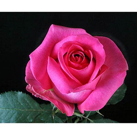 pink roses wedding flowers pink