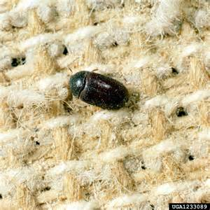 Carpet Beet Black Carpet Beetle Attagenus Unicolor Coleoptera