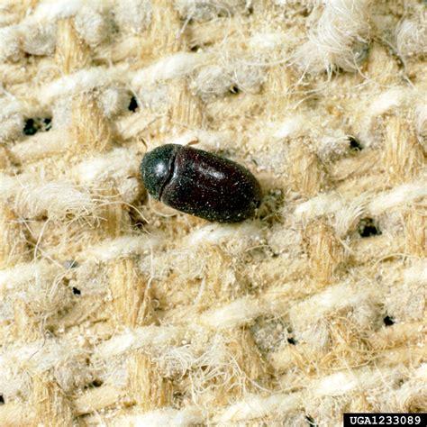 Rug Bugs by Anthrenus Bugwoodwiki