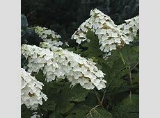 'Snow Queen' oakleaf hydrangea - FineGardening Oakleaf Hydrangea Snow Queen
