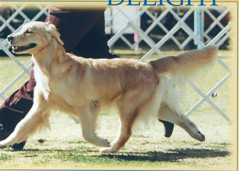 patti potter golden retrievers deli