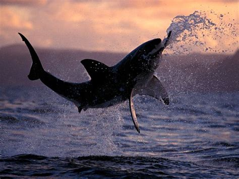 Great Photography by Great White Shark Pictures National Geographic