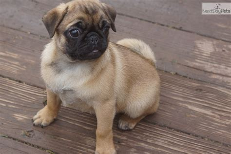 pug for sale in pa pug puppy for sale in philadelphia pa 4405777402 dogs on oodle