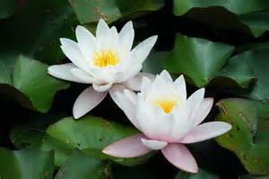 Wallpaper Of Lotus Lotus Flower Hd Wallpapers Hd Wallpapers High