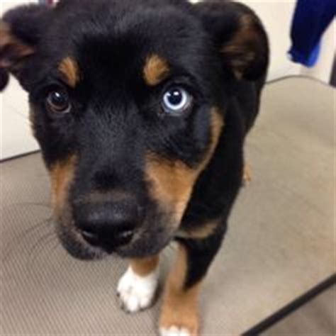 husky rottweiler mix for sale 1000 images about rottweiler huskies on husky mix rottweilers and