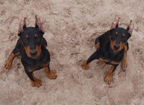 german pinscher puppies about german pinscher